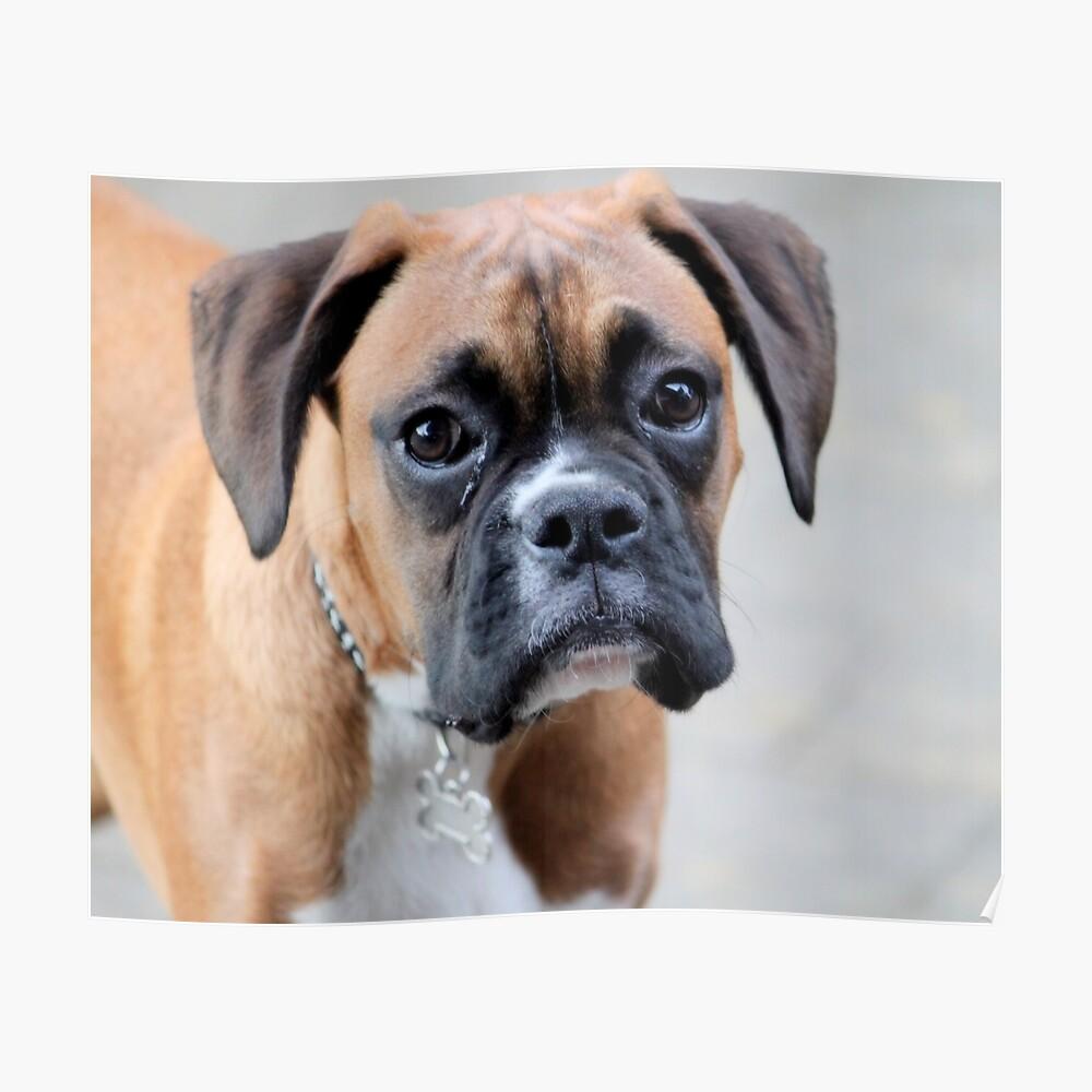 Dino - Ein Boxer Portrait - Boxer Dogs-Serie Poster