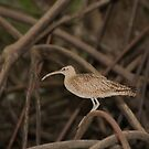 Whimbrel by Carole-Anne