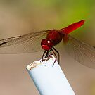 RED Dragonfly by SWEEPER