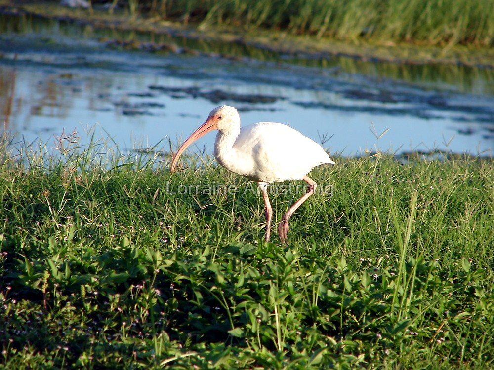 Ibis 1 by Lorraine Armstrong