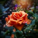 An English Autumn Rose - The End Of Summer by mcworldent