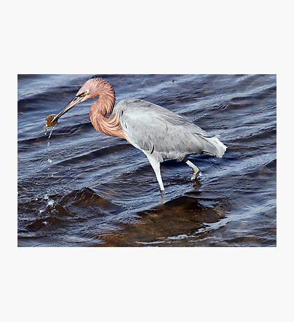 Reddish Egret Photographic Print