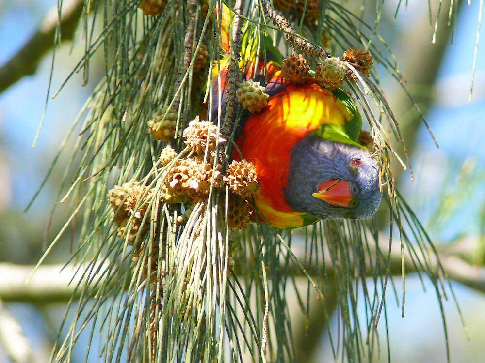 Rainbow Lorikeet by byronbackyard