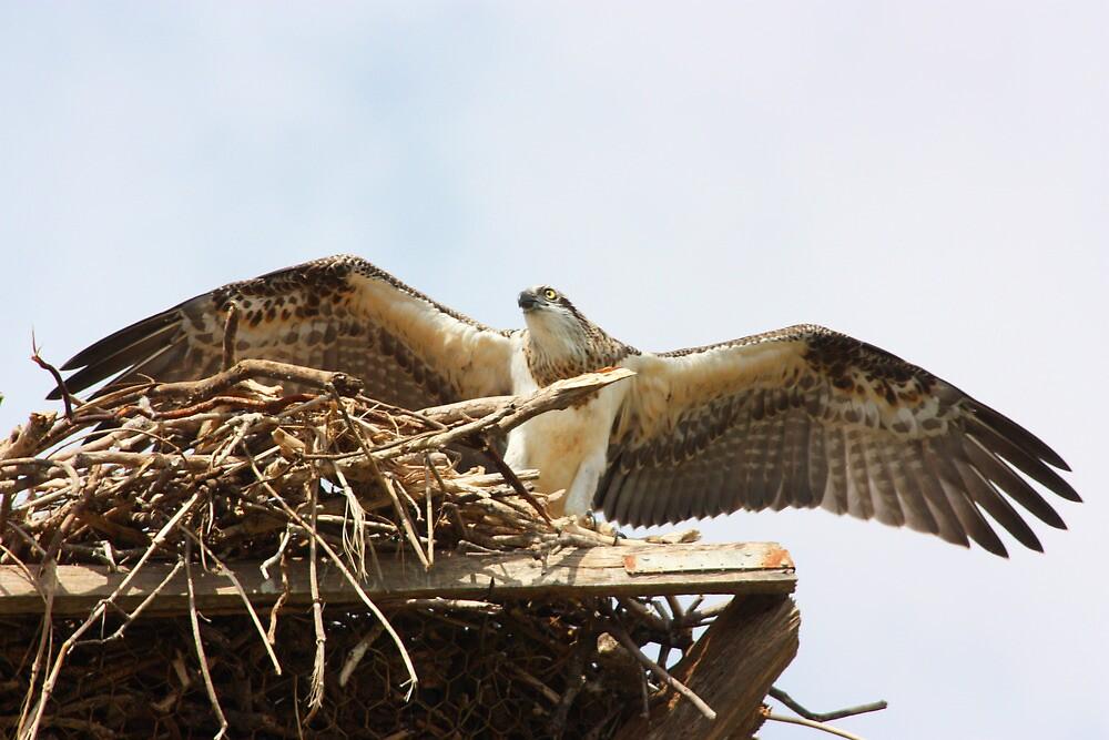 Fledging Osprey by byronbackyard
