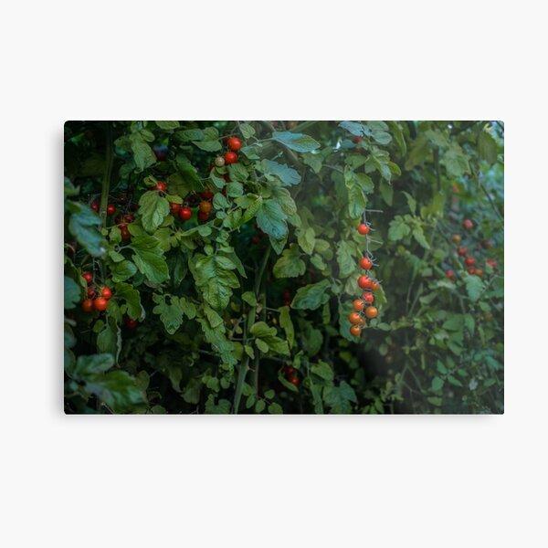Tomato Bush Metal Print