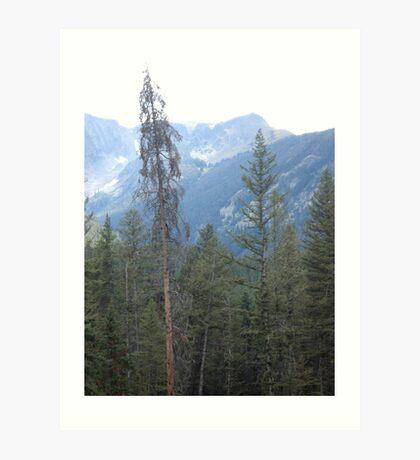 Lodgepole Pine Art Print