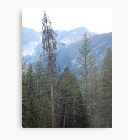 Lodgepole Pine Metal Print