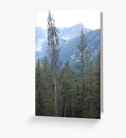 Lodgepole Pine Greeting Card