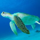 Green Turtle by Richard Carey