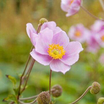 AFE Japanese Anemone by afeimages1