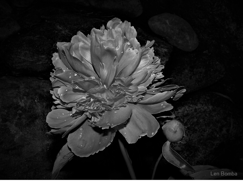 Peony In Black and White by Len Bomba