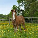 foal in a paddock by sarahnewton