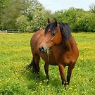 pony in a paddock of buttercups by sarahnewton