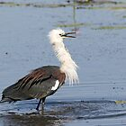 A 'fluffy' White-Necked Heron by mncphotography