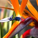 Bird Of Paradise by K D Graves Photography