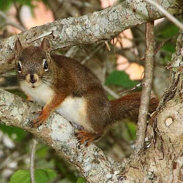 American Red Squirrel by AnnDixon