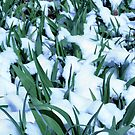 Snow Among the Daylilies by Sherry Durkin