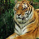 Tiger Tiger by AnnDixon