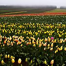 Tulips in the rain - Tasmania by Paul Gilbert