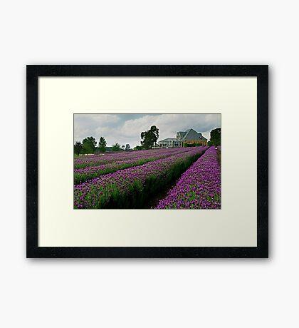 Lavender Farm Daylesford Victoria Framed Print