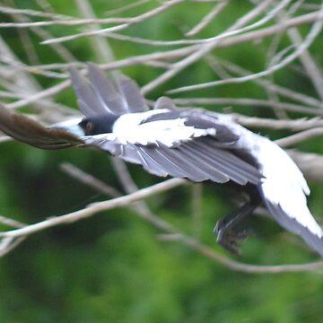 Magpie flight by lizdomett