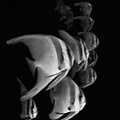 Monochrome Batfish by Ross Gudgeon
