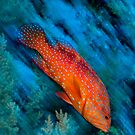 Fast Coral Grouper  by Carlos Villoch