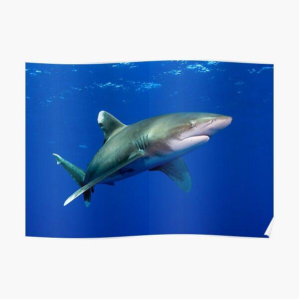 Oceanic White Tip Shark Poster