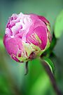 Rosebud by Extraordinary Light