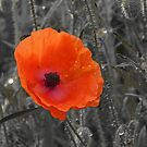 Remembrance Poppy by Graham Geldard