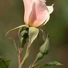 Soft Pink Rose by K D Graves Photography