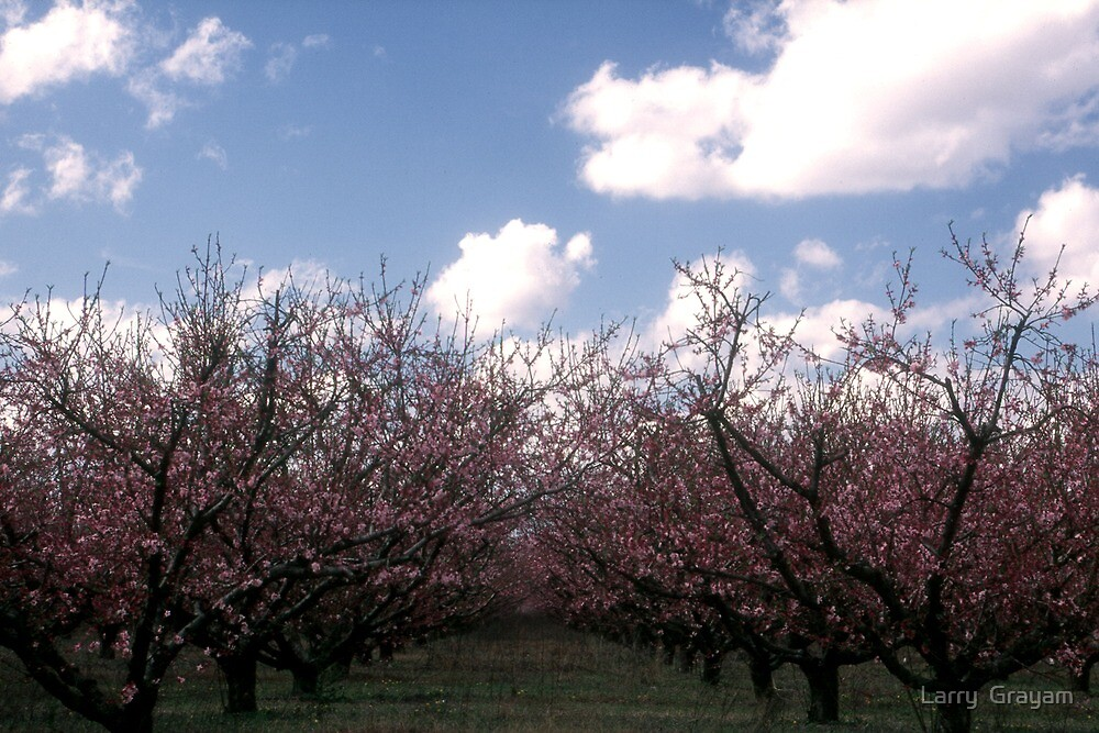 Peach orchard by Larry  Grayam