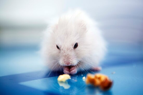 the little hamster by Carol Yepes
