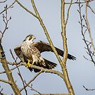 Drying Out -- Juvenile Peregrine Falcon (Tundra) by Tom Talbott