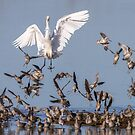 """""""Clear the Deck!"""" -- Great Egret and Short-billed Dowitchers by Tom Talbott"""