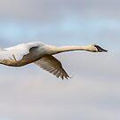 Glide -- Trumpeter Swan by Tom Talbott