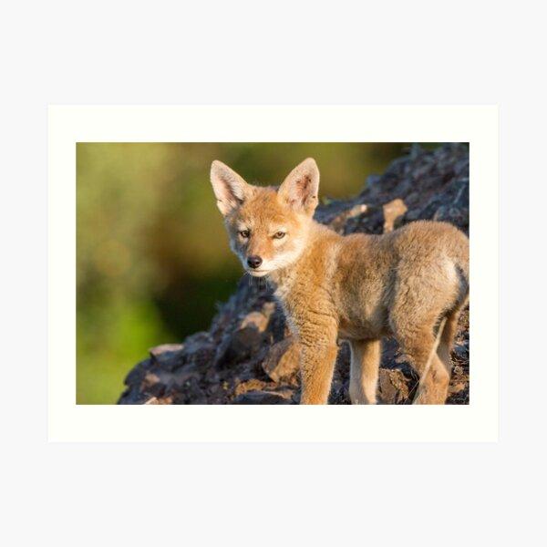 Innocence -- Coyote pup Art Print