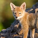 Innocence -- Coyote pup by Tom Talbott
