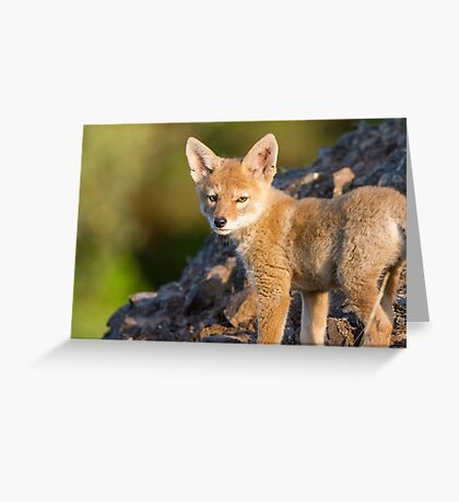 Innocence -- Coyote pup Greeting Card