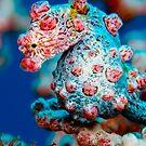 Pigmy seahorse by Carlos Villoch