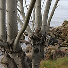 Maples  next to seashore by TerrillWelch