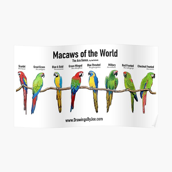 Macaws of the World - The Ara Genus Poster
