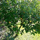 Lemon Tree  by Victoria McGuire