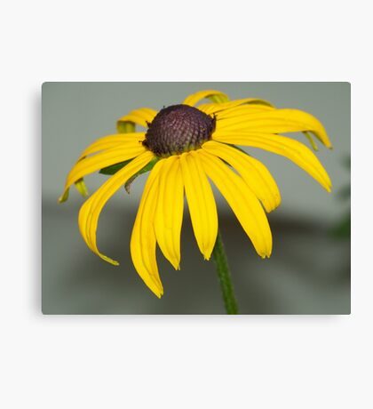 A Black-eyed Susan up close and personal. Canvas Print