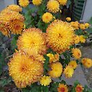 Chrysanthemum-flowers in autumn by Ana Belaj