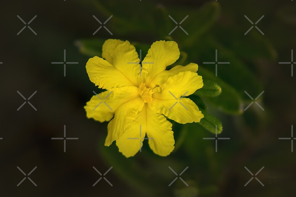 Buttercup Guinea Flower (Hibbertia) by Elaine Teague