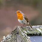 European Robin by Dave Hare