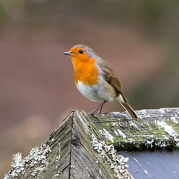 European Robin by Femaleform