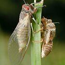 Newly Emerged Cicada by Andrew Trevor-Jones