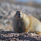 Black-tailed Prairie Dog by Barbara Manis